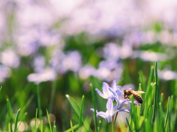 Image is a photo of lilac crocuses with a bee on one in the foreground