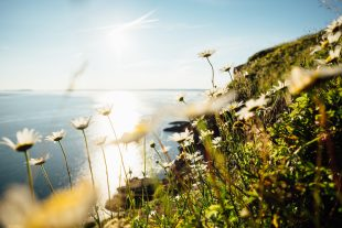 Image shows flowers growing on side of a cliff, going down to the sea